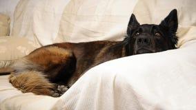 Cane che si trova sul sofà Immagini Stock Libere da Diritti