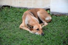 Cane che si trova sull'erba verde Fotografie Stock Libere da Diritti