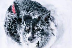 Cane che si trova sulla neve, coperta di raucedine fotografie stock libere da diritti