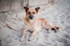 Cane che si trova sulla sabbia immagini stock