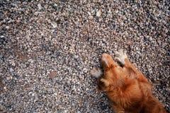 Cane che si trova sulle conchiglie sulla spiaggia Immagini Stock