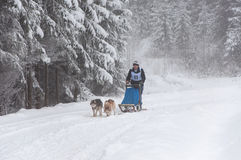 Cane che sledding con i husky Fotografia Stock Libera da Diritti