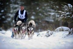 Cane che sledding con il husky Fotografia Stock