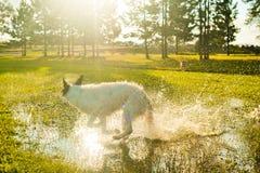 Cane che spruzza nelle pozze fotografia stock
