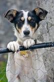 Cane che sta contro un recinto di filo metallico Fotografie Stock