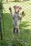 Cane che sta contro un recinto di filo metallico Immagine Stock Libera da Diritti