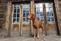 Cane che sta davanti alla porta d'annata fotografia stock libera da diritti