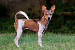 Cane che sta nell'erba Fotografia Stock Libera da Diritti