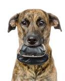 Cane che tiene borsa vuota nella sua bocca Isolato su bianco Immagini Stock Libere da Diritti