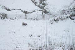 Cane che vaga nel pendio e nel composto con il recinto coperto da neve a periodo delle precipitazioni nevose durante l'inverno in immagine stock libera da diritti