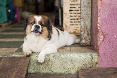 Cane che vive nel Vietnam Fotografie Stock Libere da Diritti