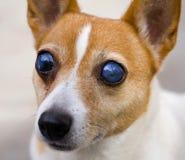 Cane cieco del terrier di russell della presa immagini stock libere da diritti