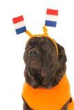 Cane come sostenitore olandese di calcio Immagine Stock