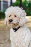 Cane con cercare del collare Fotografia Stock