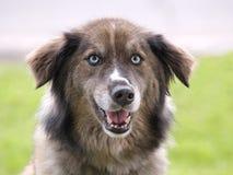 Cane con gli occhi azzurri Fotografie Stock Libere da Diritti