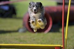 Cane con i grandi occhi azzurri che saltano sopra l'ostacolo su agilità fotografia stock