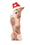 Cane con il cappello di Santa, sedersi su ed elemosinare, isolato fotografia stock