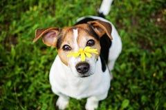 Cane con il fiore giallo che esamina macchina fotografica Immagine Stock