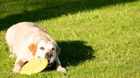 Cane con il frisbee Fotografie Stock