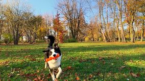 Cane con il giocattolo al parco archivi video