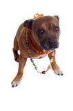 Cane con la collana Fotografie Stock Libere da Diritti