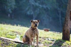 Cane con la collana intorno al collo, in natura, di mattina sole Fotografia Stock Libera da Diritti