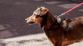 Cane con la corda rossa Immagini Stock