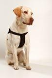 Cane con la fascia di sicurezza Immagini Stock