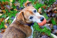 Cane con la sfera fotografia stock