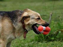 Cane con la sfera di rugby del giocattolo Fotografia Stock Libera da Diritti