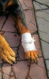 Cane con la zampa ferita Fotografie Stock Libere da Diritti
