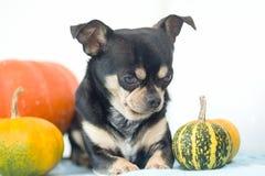 Cane con la zucca delle zucche fotografia stock