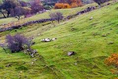 Cane con le pecore Immagini Stock