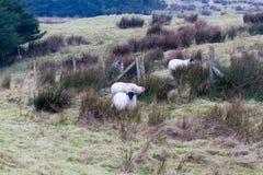Cane con le pecore Fotografia Stock