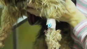 Cane con un catetere in un veterinario alla clinica video d archivio