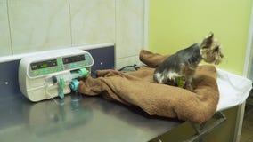 Cane con un catetere in un veterinario alla clinica stock footage