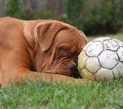 Cane con un gioco del calcio. Immagini Stock Libere da Diritti