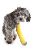 Cane con un piedino rotto Immagini Stock