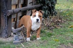 Cane con un vecchio pattino   fotografia stock libera da diritti
