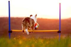 Cane con una palla che salta sopra le transenne, agilty dolci e trainin fotografia stock libera da diritti