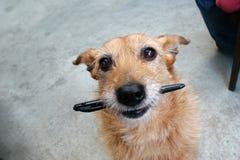 Cane con una penna nella sua bocca Fotografie Stock Libere da Diritti