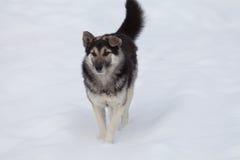 Cane coraggioso su un pendio nevoso Fotografia Stock Libera da Diritti