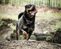 Cane corrente del rottweiler fotografia stock
