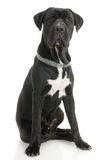 Cane Corso Stock Photos
