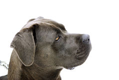 Cane Corso royalty free stock images