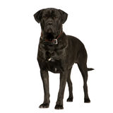 Cane Corso (2 years) Royalty Free Stock Photo