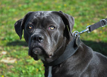 Cane corso Royalty Free Stock Photos
