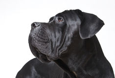 Cane Corso Stock Images