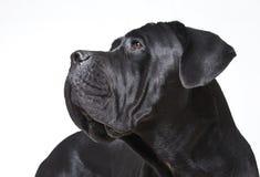 Cane Corso. Close up portrait Stock Images