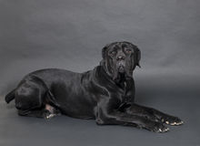 Cane Corso. Dog in front of black background Stock Photo